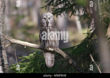 Great grey owl, Strix Nebulosa, Estonia 2018 - Stock Image