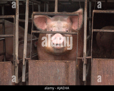 pig farm one boar pen cage trapped - Stock Image