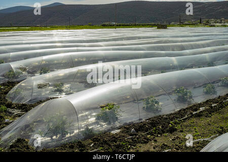 Farming in Greece, rows of small greenhouses covered with plastic film with growing melon plants in spring season and brown soil - Stock Image