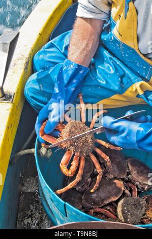 Sizing the crab for minimum size. - Stock Image