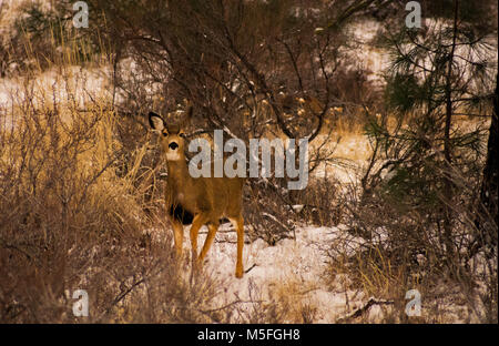 Doe standing in the snow - Stock Image