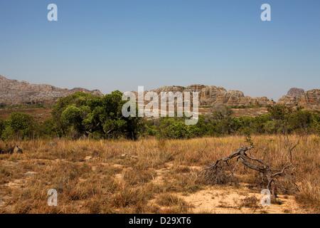 Isalo National Park, Ranohira, Madagascar, Africa. Tapia Trees, Uapaca bojeri, Phyllanthaceae (Euphorbiaceae) in - Stock Image