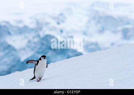 Chinstrap penguin (Pygoscelis antarctica) walking on snow Half Moon island Antarctic Peninsula Antarctica - Stock Image