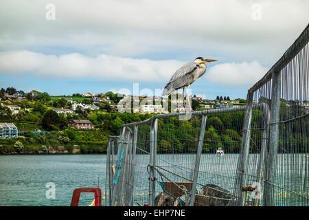 A Grey Heron at Kinsale harbour, Ireland. - Stock Image
