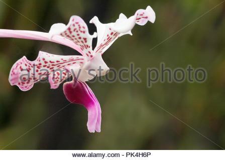 Sideways Image Of Torito (Stanhopea) Orchid - Stock Image