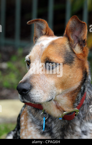 HEAD AND SHOULDERS PORTRAIT OF A RED BLUE CATTLE DOG CROSS GARDEN BACKGROUND BDA VERTICAL - Stock Image