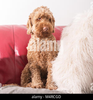 Cockapoo dog sat on settee sofa - Stock Image