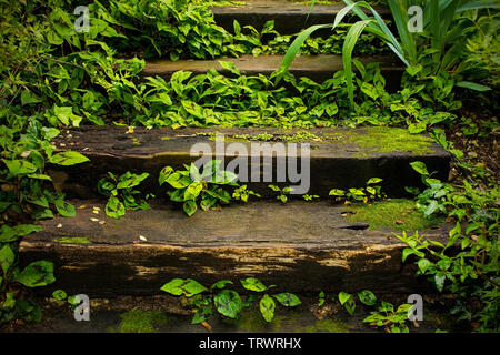 Coleus leaves growing out of wooden steps in a shady garden in north east Italy - Stock Image