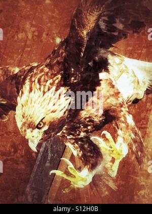Golden eagle - Stock Image