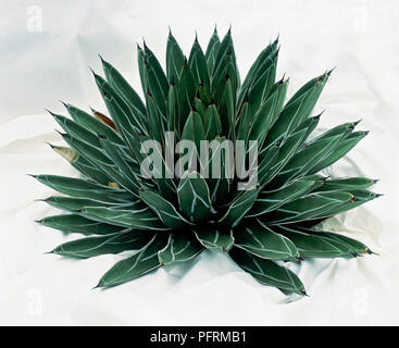 Agave victoria-reginae: Side-view of elegant domed rosette of short broad leaves which are patterned and have white edges. - Stock Image