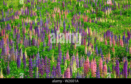 Lupine wild flowers in the swiss alps - Stock Image