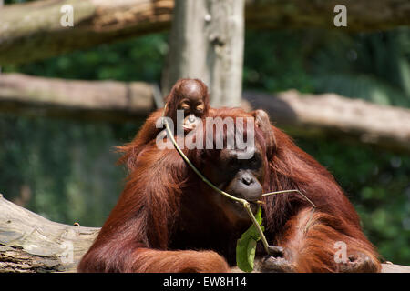 Orangutan and infant Singapore Zoo - Stock Image