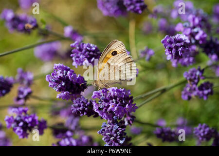A Small Heath Butterfly (Coenonympha pamphilus) nectaring on Lavender on a summer evening in the UK. - Stock Image