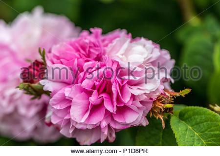 A fragrant Damask rose 'Pink Leda' - Stock Image