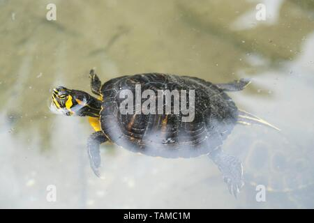Terrapin, yellow-bellied slider. - Stock Image