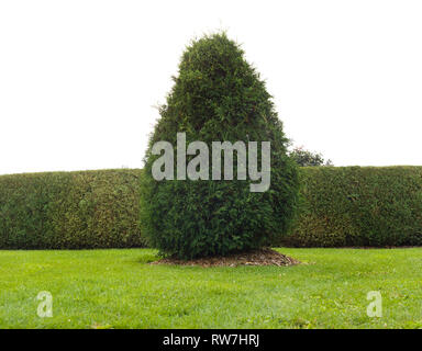 Large Arborvitae Tree against Manicured Hedge Row - Stock Image