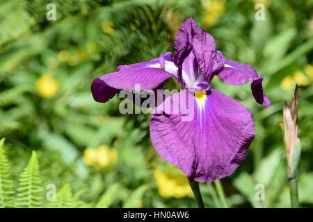 purple flowers in the garden - Stock Image