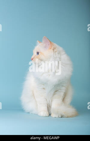 birman male cat sitting on blue background looking left - Stock Image
