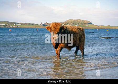 Highland cow enjoying a paddle in the Sound of Iona in the Autumn sunshine with Iona Abbey in the background. - Stock Image
