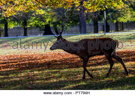Bushy Park, Hampton, London. 7th October 2018. A young red deer stag walking through fallen horse chestnut tree leaves in the early morning sunshine. Credit: Images by Russell/Alamy Live News Credit: Images by Russell/Alamy Live News - Stock Image