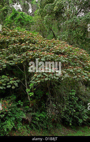 Tropical Trees, Ranomafana National Park, Madagascar, Africa. - Stock Image