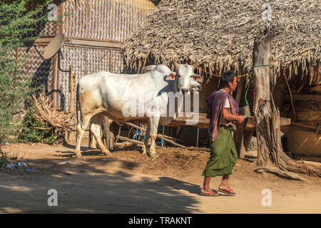 Life in the village: man walking and cow - Stock Image