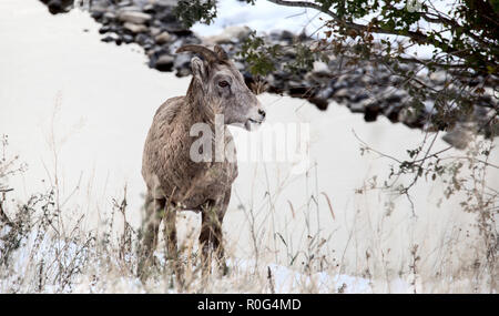 Rocky Mountain Ram  Big Horn Sheep Kananaskis Alberta Winter - Stock Image