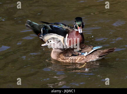 Male and female North American Wood duck or Carolina duck (Aix sponsa) swimming together. - Stock Image