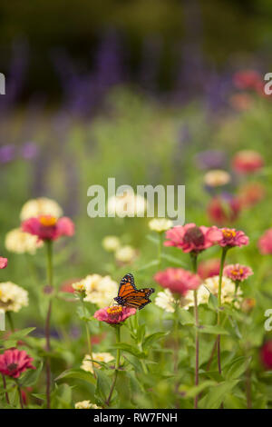 Red and Yellow Zinnias in Garden with Butterfly - Stock Image