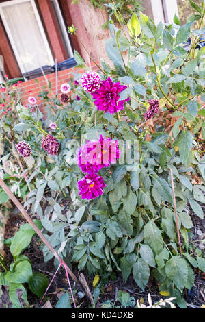 Flowers grow in wildflower garden in front yard of house in downtown Toronto Ontario Canada - Stock Image