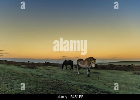 Chapel Carn Brea, near Lands End, Cornwall, UK. 25th November 2018. UK Weather. After heavy showers yesterday, these wild ponies were out grazing on the hill at Chapel Carn Brea in Cornwall on a chilly but dry morning. Credit: Simon Maycock/Alamy Live News - Stock Image