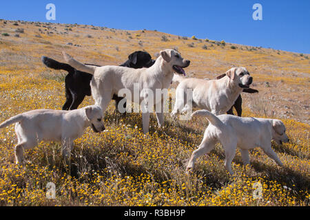 Group of Labrador Retrievers on a hill full of yellow flowers (PR) - Stock Image