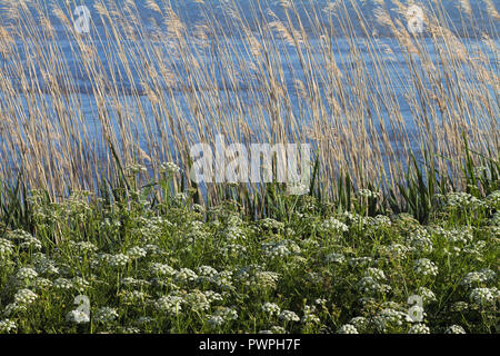 France, department 44, vegetation on the banks of the Loire, spring. - Stock Image