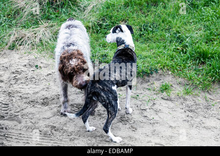 Damp and sandy Wirehaired Pointing Griffon dog a.k.a. Korthals Griffon sniffing tail of spotted brindle pit bull - Stock Image
