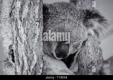 Black and white photos of a sleeping Koala. - Stock Image