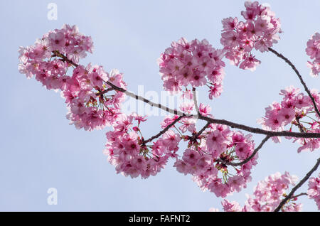 Cherry Blossoms against a blue sky in Ueno Park, Tokyo, Japan - Stock Image
