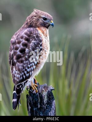 Red-shouldered Hawk - Stock Image