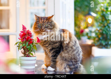 Tabby Persian cat looking at camera in a garden - Stock Image