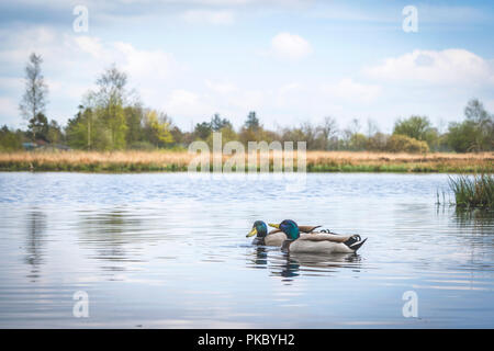 Ducks in a river in idyllic nature in the spring with blue sky above - Stock Image