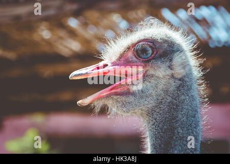 Close up on ostrich, beak open, bright eye - Stock Image
