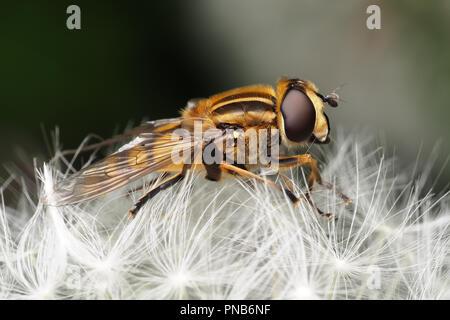 Helophilus pendulus hoverfly resting on dandelion seed head. Tipperary, Ireland - Stock Image