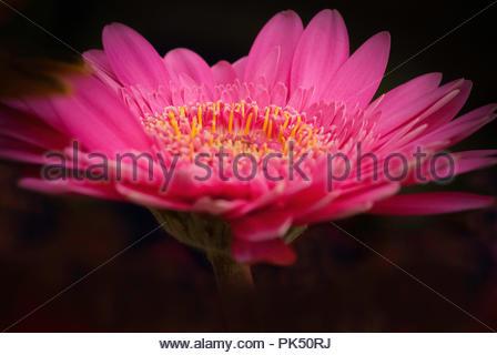 Beautiful Pink Gerbera - Stock Image