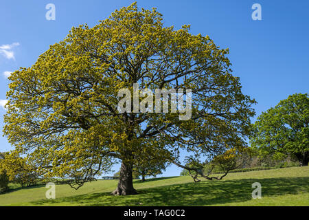 The spreading branches of an English Oak tree in Eskdale, North York Moors, Yorkshire, UK - Stock Image