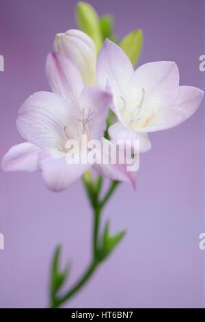 gentle mauve freesia stem as sweet as its fragrance  Jane Ann Butler Photography  JABP1875 - Stock Image