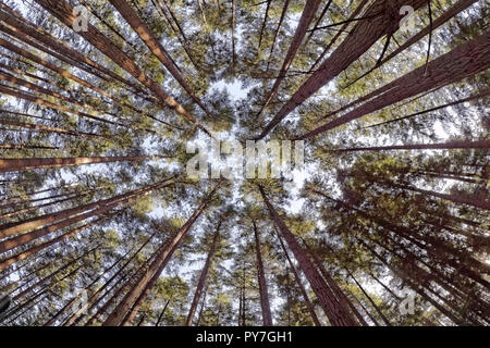 Fisheye lens view of towering western red cedar trees Thuja plicata  in Pacific Spirit Regional Park, Vancouver, BC, Canada - Stock Image