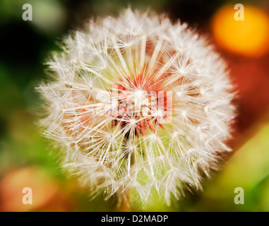 dandelion flower gone to seed - Stock Image