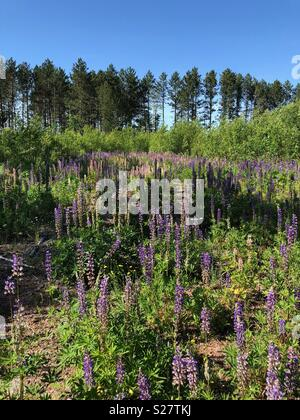 Field of Lupine flowers in northern Wisconsin - Stock Image
