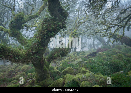 Gnarled and twisted oak trees in Wistman's Wood SSSI, Dartmoor National Park, Devon, England. Winter (January) 2018. - Stock Image
