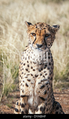 Captive Cheetah, Acinonyx  jubatus, with milk on her face after drinking from a bowl, Namibia, Africa - Stock Image