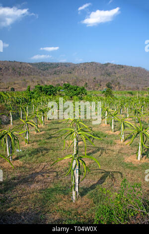 Field of Aloe Vera plants grown for agriculture, Vietnam. - Stock Image